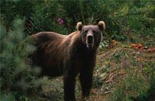 კავკასიური მურა დათვი
